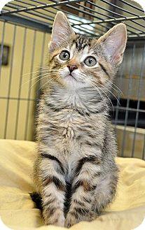 Domestic Shorthair Kitten for adoption in Fort Leavenworth, Kansas - Tiger Lily