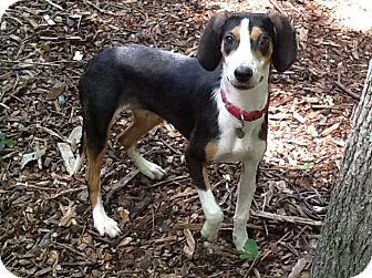 Beagle/Hound (Unknown Type) Mix Puppy for adoption in Richmond, Virginia - Goofy