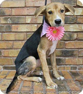 Hound (Unknown Type) Mix Puppy for adoption in Benbrook, Texas - Kira