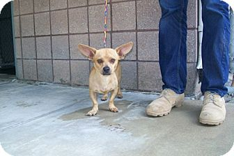 Chihuahua/Dachshund Mix Dog for adoption in Copperas Cove, Texas - No Name