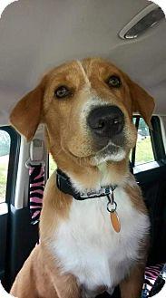 Labrador Retriever Mix Puppy for adoption in Newburgh, Indiana - Champ