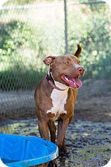 American Staffordshire Terrier Mix Dog for adoption in Santa Barbara, California - Coco Boy
