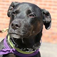 Labrador Retriever/Terrier (Unknown Type, Medium) Mix Dog for adoption in Detroit, Michigan - Blitz