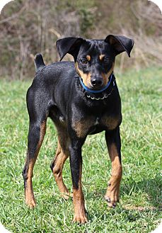 Miniature Pinscher Mix Dog for adoption in Waldorf, Maryland - Dewey-Adoption Pending