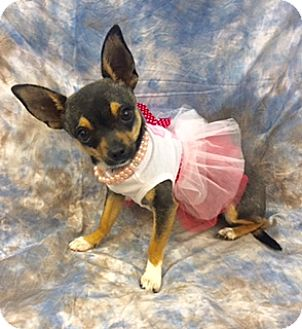 Chihuahua Mix Dog for adoption in Lake Elsinore, California - Sushi
