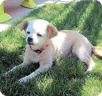 Pekingese/Chihuahua Mix Dog for adoption in Fresno, California - Lulu