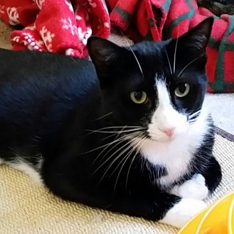 Domestic Shorthair Cat for adoption in Marlton, New Jersey - Landon