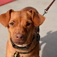 Adopt A Pet :: Justice - Phoenix, AZ