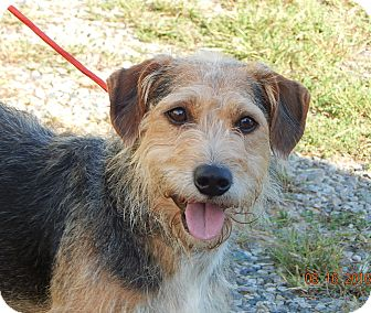 Border Terrier/Wirehaired Fox Terrier Mix Dog for adoption in SUSSEX, New Jersey - Barney (27 lb) A Character!