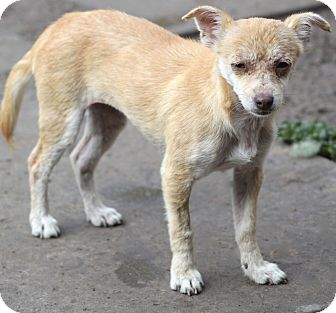 Chihuahua Mix Dog for adoption in Woonsocket, Rhode Island - Boston - MEET ME