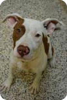 American Pit Bull Terrier Mix Dog for adoption in Aiken, South Carolina - Fantasia
