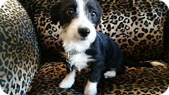 Terrier (Unknown Type, Small) Mix Puppy for adoption in Valencia, California - Laverne