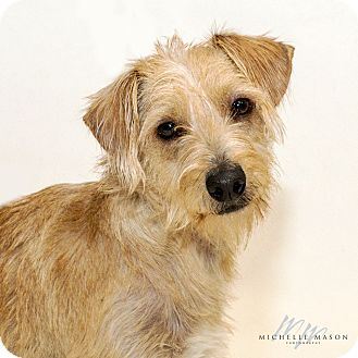 Terrier (Unknown Type, Small) Mix Dog for adoption in Naperville, Illinois - Harvard