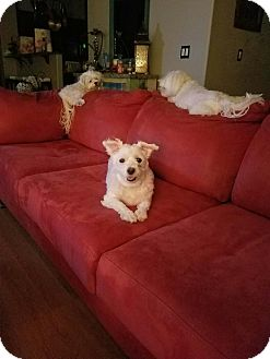 Maltese Mix Dog for adoption in Las Vegas, Nevada - Arya