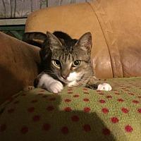 Domestic Mediumhair Cat for adoption in Homestead, Florida - truffles