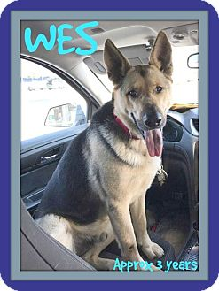 German Shepherd Dog Dog for adoption in Middletown, Connecticut - WES
