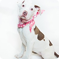 Adopt A Pet :: Scarlet - New Castle, PA