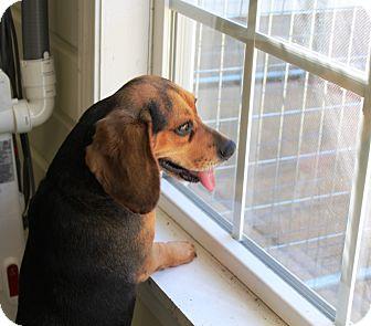 Beagle/Basset Hound Mix Dog for adoption in Cedar Bluff, Alabama - LuLu
