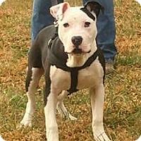 Adopt A Pet :: Chico (8 mo 45 lb) - Grayson, KY