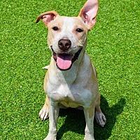 Adopt A Pet :: Becky - Westminster, MD