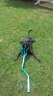 American Staffordshire Terrier/Retriever (Unknown Type) Mix Dog for adoption in Bedminster, New Jersey - Dalton