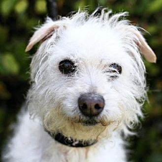 Maltese/Norfolk Terrier Mix Dog for adoption in San Diego, California - Travis