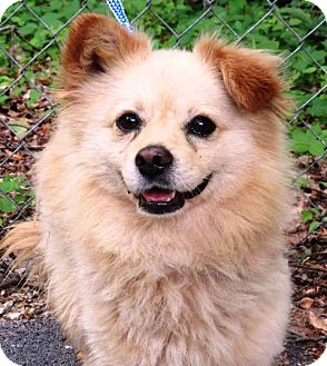 Cavalier King Charles Spaniel/Pomeranian Mix Dog for adoption in Oswego, Illinois - I'M ADOPTED Tanner Smith