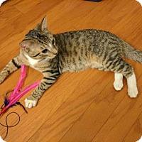 Domestic Shorthair Cat for adoption in New York, New York - Marcel
