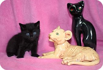 Domestic Mediumhair Kitten for adoption in Newark, New Jersey - Dale
