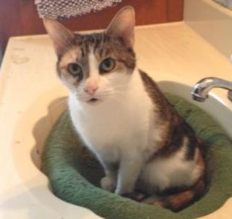 Domestic Shorthair/Domestic Shorthair Mix Cat for adoption in Jacksonville, Florida - Cat Woman 0501