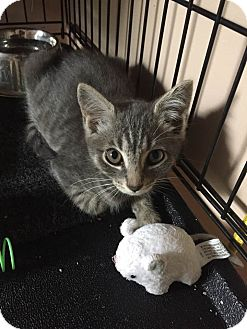 Domestic Shorthair Kitten for adoption in Bethpage, New York - Petunia