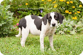 Setter (Unknown Type)/Labrador Retriever Mix Puppy for adoption in Glendale, Ohio - Spot