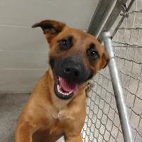 Adopt A Pet :: Brownie - Paducah, KY