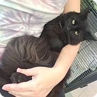 Domestic Mediumhair Kitten for adoption in Fairfax, Virginia - Zoey