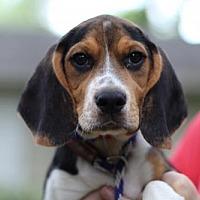 Adopt A Pet :: PUPPY JERSEY BOY - richmond, VA
