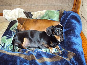 Dachshund Mix Dog for adoption in Falls Church, Virginia - LITTLE BOY