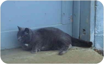 Abyssinian Cat for adoption in North Wilkesboro, North Carolina - Smokey