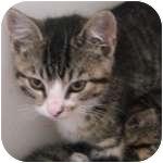 Domestic Shorthair Kitten for adoption in Wheaton, Illinois - Estel