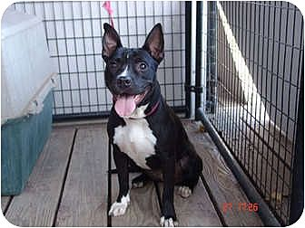 American Pit Bull Terrier/Bull Terrier Mix Dog for adoption in West Los Angeles, California - Lady