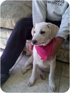 Golden Retriever/Labrador Retriever Mix Puppy for adoption in Harrisonburg, Virginia - Grace