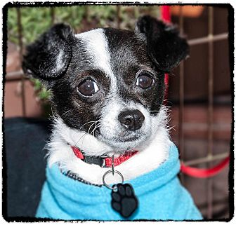 Terrier (Unknown Type, Small)/Spaniel (Unknown Type) Mix Dog for adoption in San Marcos, California - Cookie