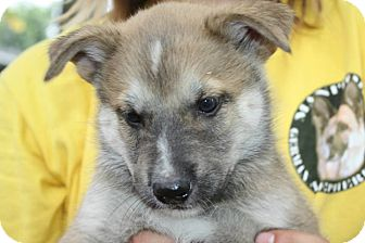 German Shepherd Dog Mix Puppy for adoption in Winnipeg, Manitoba - Paul