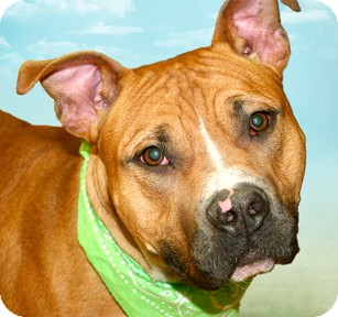 Pit Bull Terrier Mix Dog for adoption in Cincinnati, Ohio - Baytoven