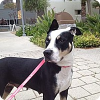 Adopt A Pet :: Angel - palm springs, CA