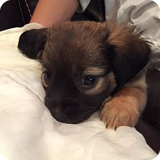 Terrier (Unknown Type, Small)/Shepherd (Unknown Type) Mix Puppy for adoption in Encino, California - Sam - Mamma Mia pup