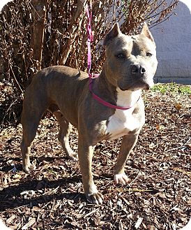 Pit Bull Terrier Dog for adoption in Lawrenceville, Georgia - Grace