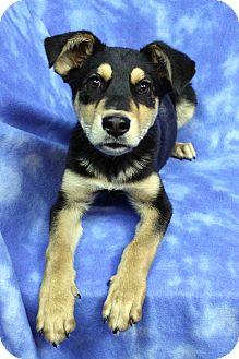Rottweiler/Australian Shepherd Mix Puppy for adoption in Westminster, Colorado - Leo