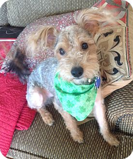 Yorkie, Yorkshire Terrier/Poodle (Miniature) Mix Dog for adoption in Anchorage, Alaska - Murphy