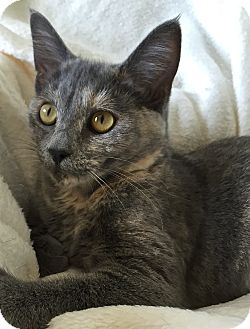 Domestic Shorthair Cat for adoption in South Haven, Michigan - Nala