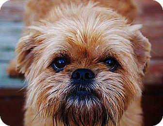 Brussels Griffon Dog for adoption in Marion, Ohio - SASSY:  Marion, Ohio